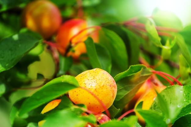 Een tak met abrikozen en groene bladeren in de zomertuin