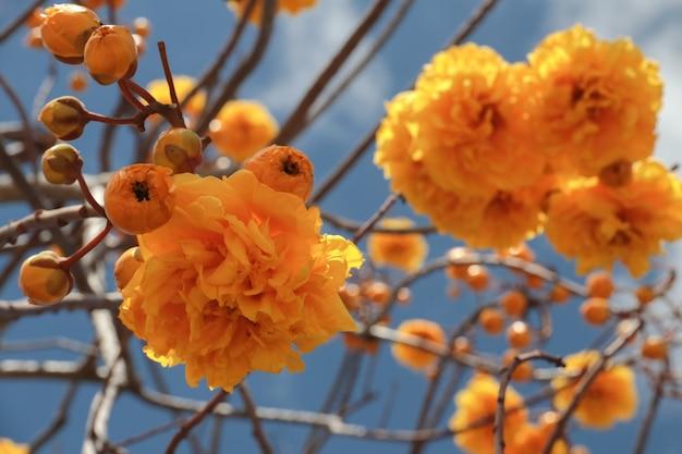 Een tak met felgele terry bloemen en mierenboom tabebuia aurea tegen een blauwe hemel op een zonnige dag.