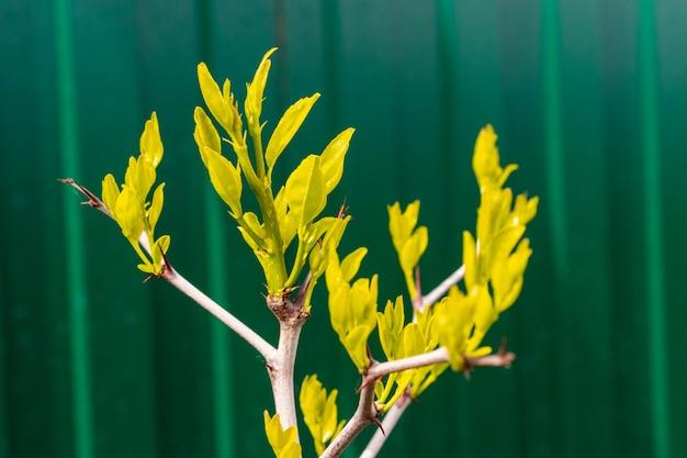 Een tak met kleine gele blaadjes op een gestreepte groene muur
