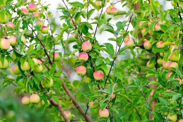Een tak met veel rode appels