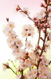 Een tak van abrikoos met bloemen en bladeren in een lentetuin