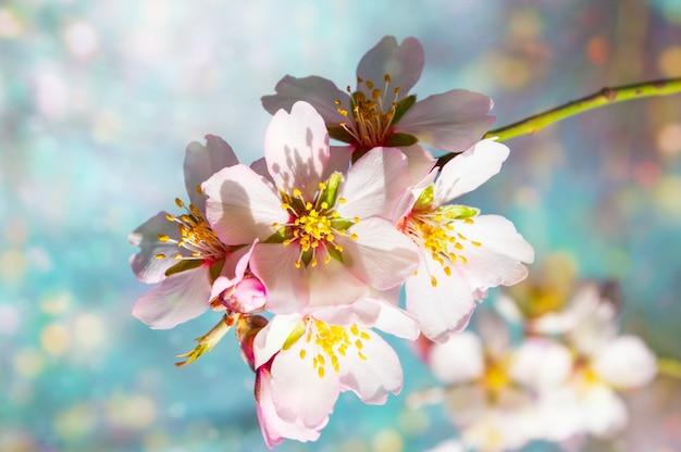 Een tak van bloeiende amandelen