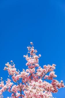 Een tak van bloeiende magnolia tegen een heldere heldere blauwe lucht