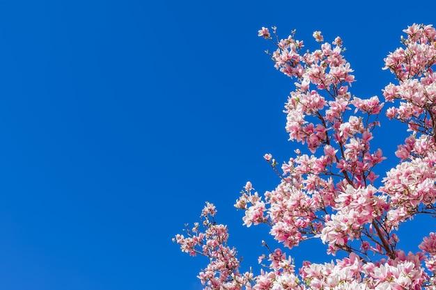 Een tak van bloeiende paarse magnolia tegen de achtergrond van de zuiverste blauwe lucht.