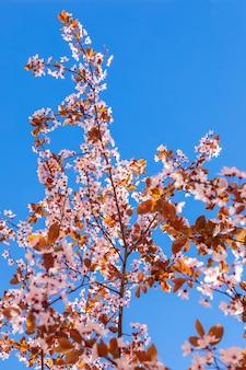 Een tak van bloeiende sakura tegen de achtergrond van de puurste blauwe lucht (minimalistische foto)