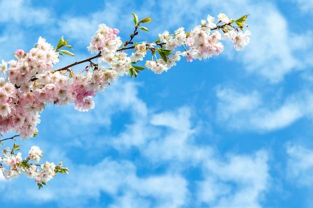 Een tak van bloeiende sakura tegen de blauwe hemel met witte wolken. delicate roze bloemen bloeien buiten. mooie de lenteachtergrond op een zonnige weerdag.