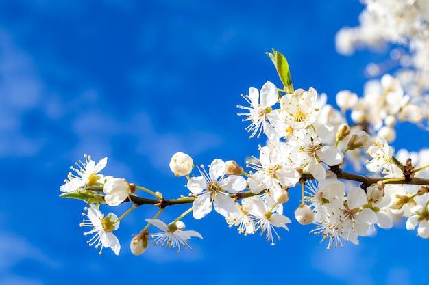 Een tak van een bloeiende kersenpruim boom. mooie witte bloemen close-up op een achtergrond van blauwe hemel. achtergrond met plaats voor tekst.