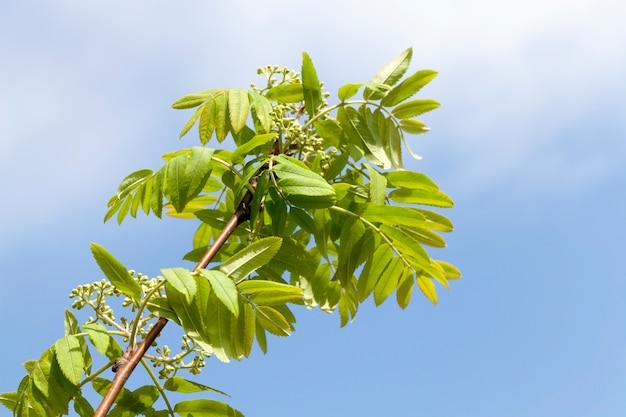 Een tak van lijsterbes waarop groene bladeren groeien en geen bloeiende knoppen van bloeiwijzen en bloemen, een foto in de lente in de lente met een blauwe lucht