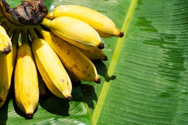 Een tak van sappige gele bananen op groene bananenblad. rijpe sappige vruchten.