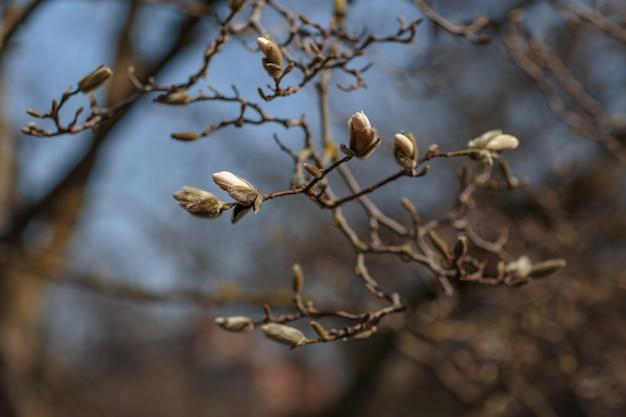 Een tak van witte magnolia bloeit in het voorjaar in de tuin