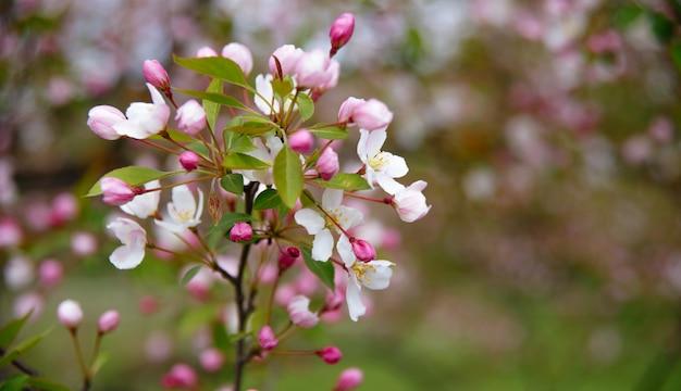 Een takje met witte en roze bloemen