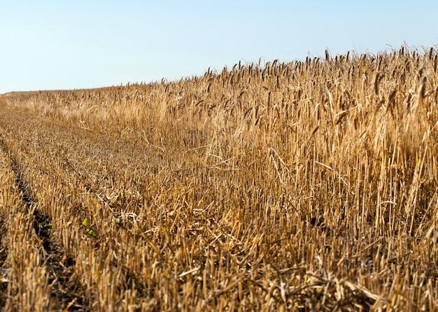 Een tarweveld waarop een deel van het gewas wordt geoogst, een close-upfoto