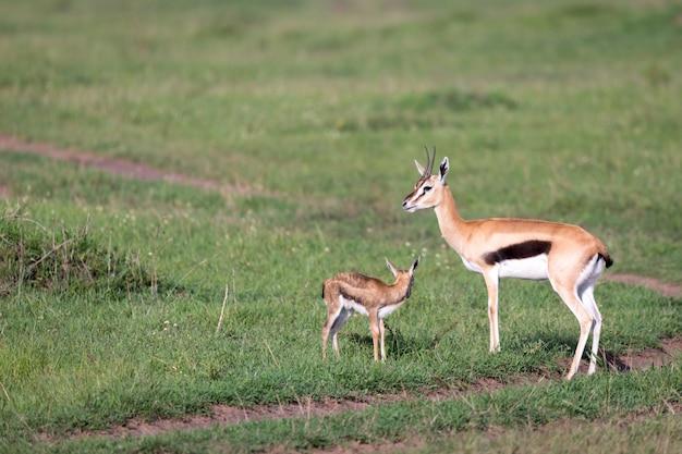 Een thomson's gazelle met haar kroost in de savanne Premium Foto