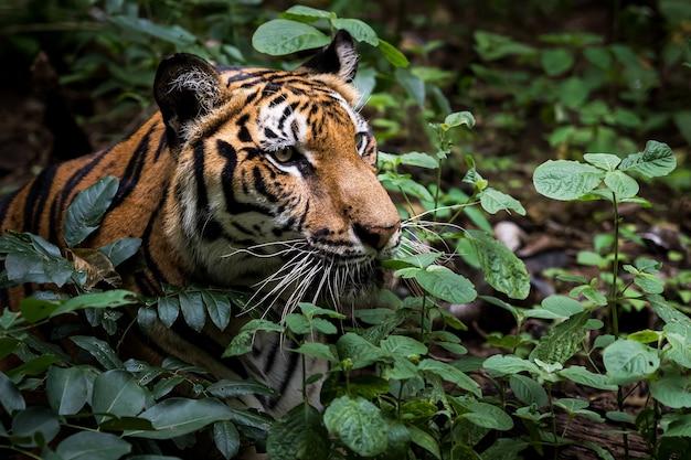 Een tijger loert in het bos wachtend op een prooi.