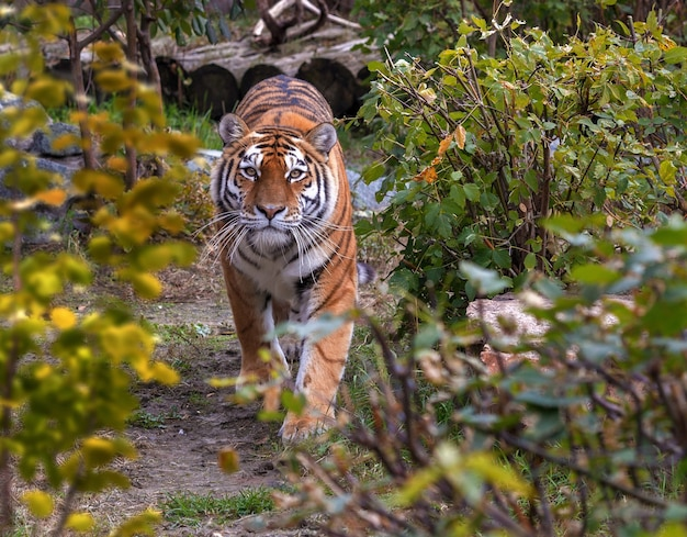 Een tijger loopt in de dierentuin