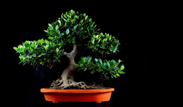 Een traditionele japanse bonsai miniatuurboom in een pot die op een zwarte achtergrond wordt geïsoleerd