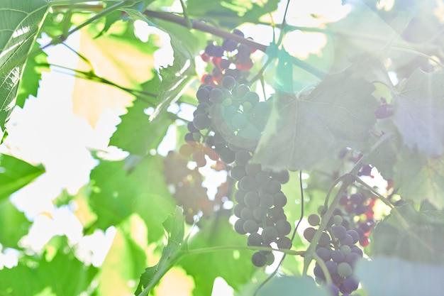 Een tros druiven klaar om te plukken in een wijngaard