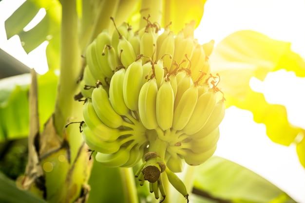 Een tros groene bananen die aan een palmboom groeien