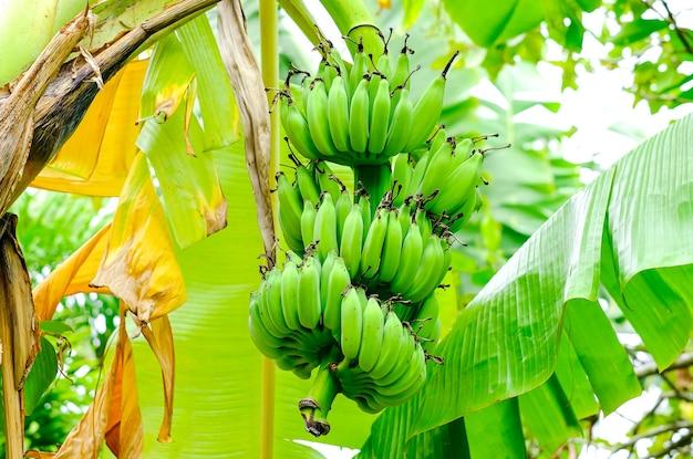 Een tros kleine groene bananen aan een palmboom