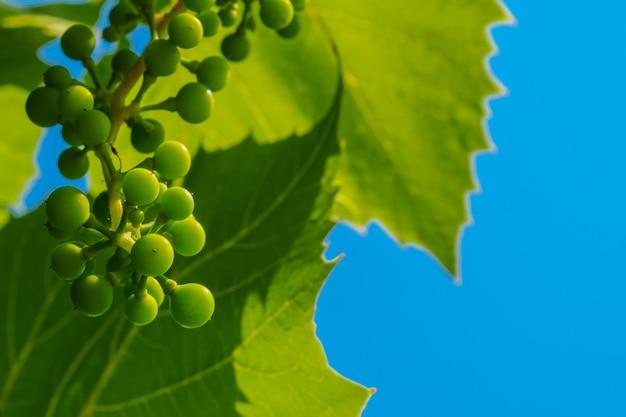 Een tros onrijpe groene druiven op de achtergrond van druivenbladeren en blauwe lucht