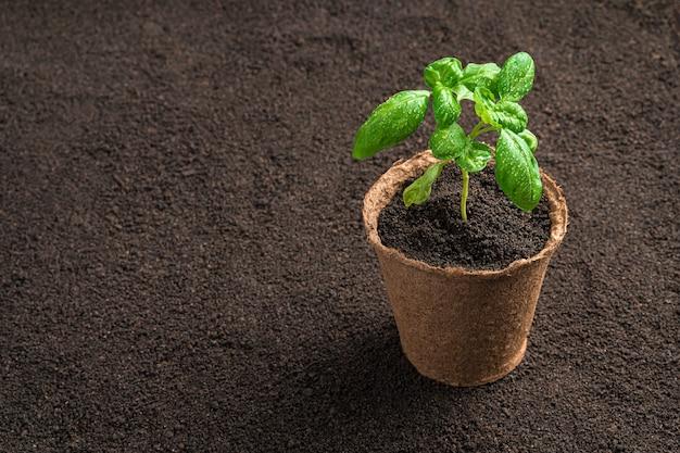 Een turfpot met zaailingen staat op de grond en groeit basilicum