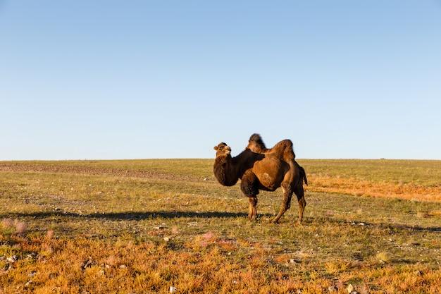 Een twee gehobbelde kameel loopt in de gobi-woestijn
