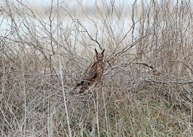 Een uil met lange oren in winterkleed zit op een dichte struik. kan worden gebruikt voor vogelgeleiding en identificatie van vogels