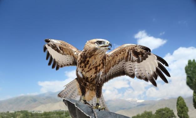Een valk die is getraind om te jagen, spreidt zijn vleugels uit tegen de blauwe lucht.