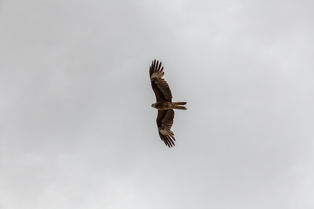 Een valk vliegt in de lucht op zoek naar een prooi boven de altai mongoolse bergen.