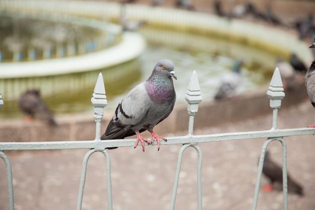 Een van de duiven.