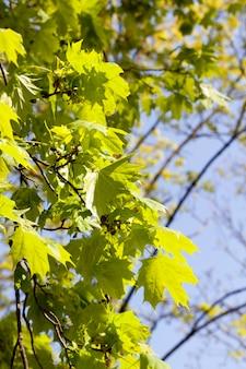 Een van de eerste bladeren op een esdoorn met groen blad verlicht door zonlicht. ontwaken van de natuur na de winter