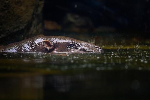 Een veel voorkomend nijlpaard tuurt op ooghoogte uit het groene water (hippopotamus amphibius).