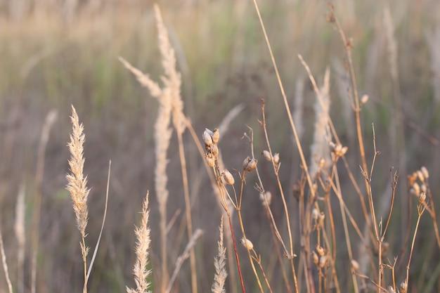 Een veld met aartjes, droog gras op een zonnige herfstdag. selectieve focus