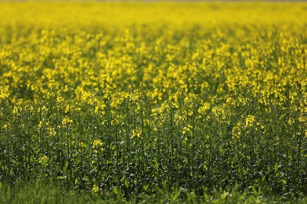 Een veld met gele bloemen