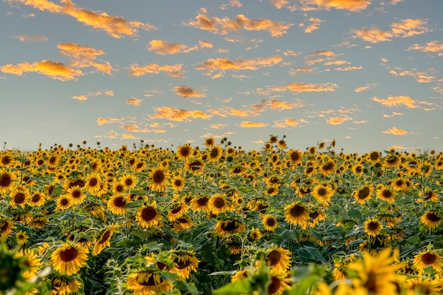 Een veld met heldere zonnebloemen, blauwe lucht met gele wolken perfecte bureaubladachtergrond