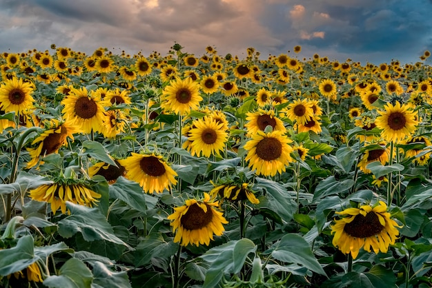 Een veld met heldere zonnebloemen met een stormachtige lucht perfecte bureaubladachtergrond voor design en interieur