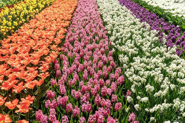 Een veld met kleurrijke tulpen