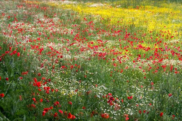 Een veld met lentebloemen in castiglione del lago