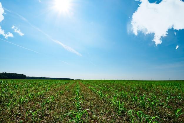Een veld met rijen van jonge zoete maïsspruiten onder een blauwe hemel met wolken