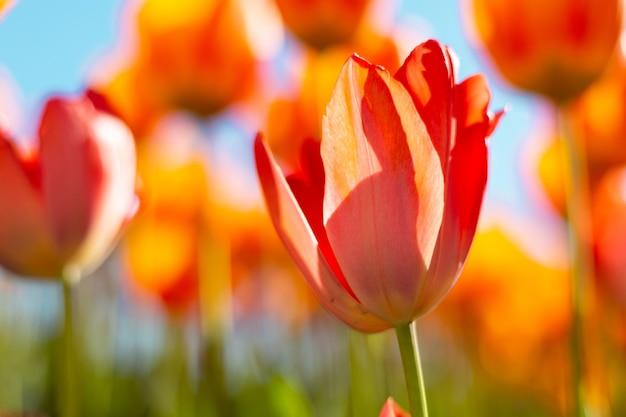 Een veld met vurige oranje tulpen in de stralen van het heldere daglicht van de zomer