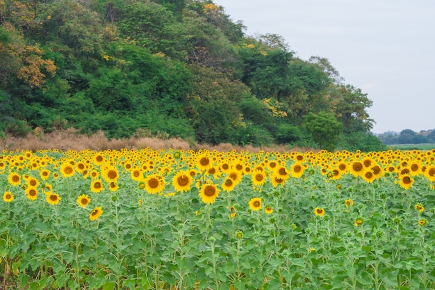 Een veld met zonnebloem met bergachtergrond