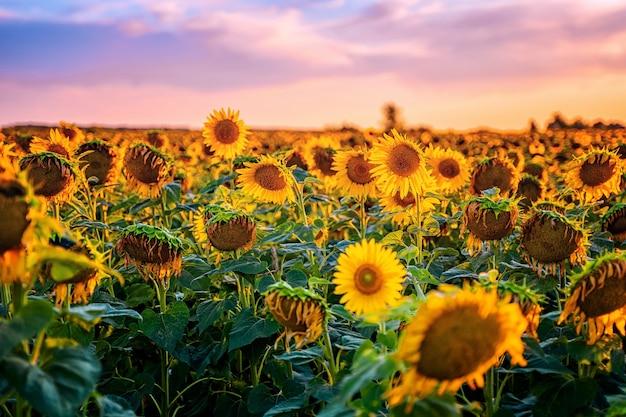 Een veld met zonnebloemen bij zonsondergang het einde van het zomerseizoen en de oogst