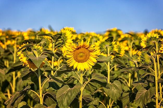 Een veld met zonnebloemen tegen een blauwe lucht, één zonnebloem wordt van alle kanten in de tegenovergestelde richting opgesteld.