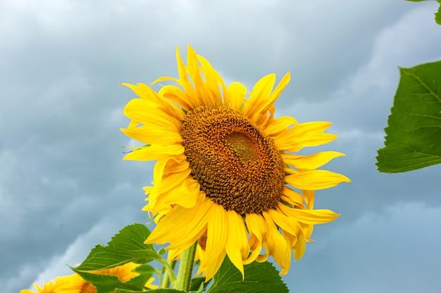 Een veld met zonnebloemen voor de regen. zwarte regenwolken boven een veld met zonnebloemen