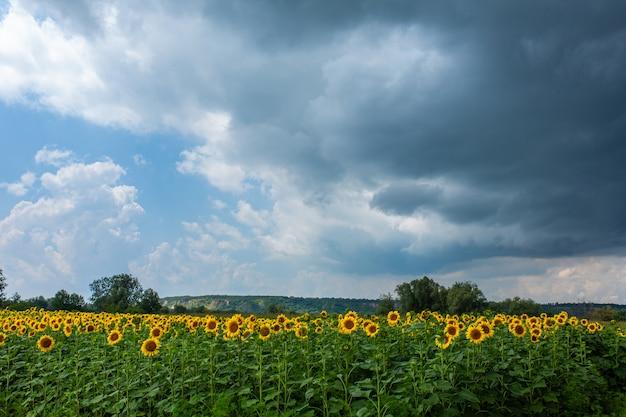 Een veld met zonnebloemen voor de regen. zwarte regenwolken boven een veld met zonnebloemen.