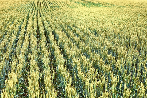 Een veld van jonge tarwe. agrarisch landschap.