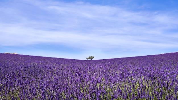 Een veld van lavanda in de provence