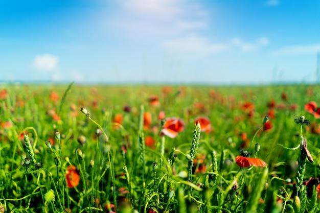 Een veld van tarwe en papavers tegen een wazig blauwe hemel