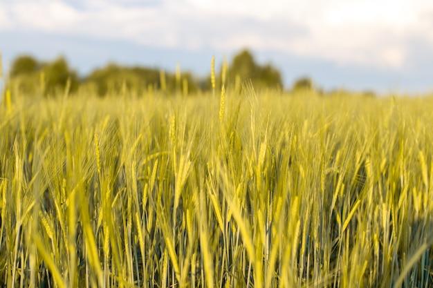 Een veld van tarwe of rogge op een zonnige dag. veel oren 3