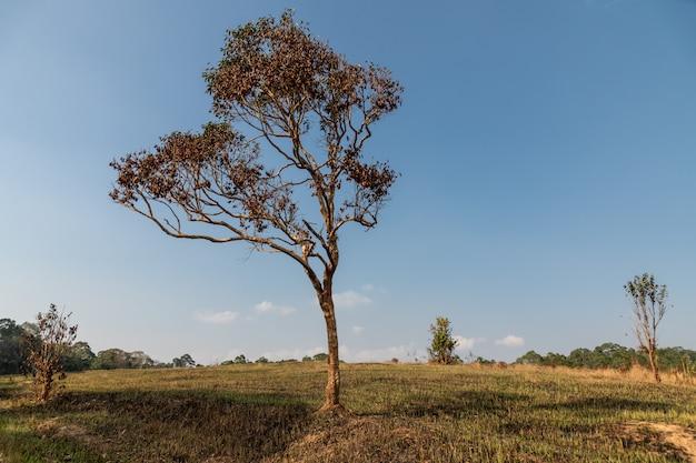 Een verbrand veld wordt zwart na een bosbrand, de eerste nieuwe knoppen beginnen net, khao yai nationaal park, thailand